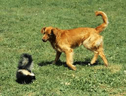 Use URE-OUT to remove Skunk Smell from Dogs and Cats